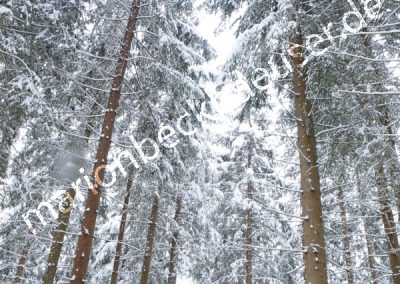 Schwarzwaldtannen