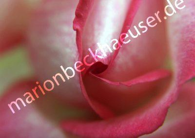 Eine Rose ist eine Rose...