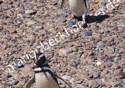 Marsch-der-Pinguine